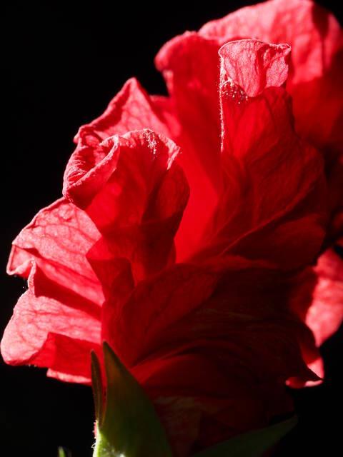 gerollte Teilblüte